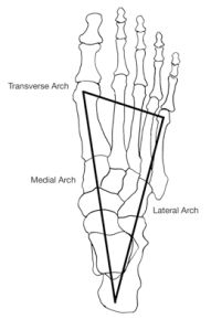 Three Arches of the Foot