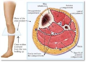 calf-musculature